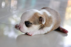 Chihuahua puppy. Newborn crawling on the floor Stock Photo