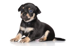Chihuahua puppy (one month) Royalty Free Stock Image