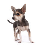 Chihuahua puppy. Over white background Stock Photo