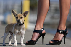 Chihuahua Puppy with Owner Stock Images