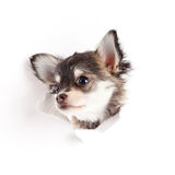 Chihuahua puppy in paper Royalty Free Stock Photography
