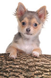 Chihuahua puppy with paws on trunk isolated Stock Photo