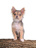 Chihuahua puppy with paws on wooden trunk Royalty Free Stock Image