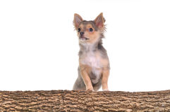 Chihuahua puppy with paws on wooden trunk Royalty Free Stock Photography