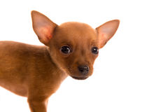 Chihuahua puppy pet dog doggy portrait on white Royalty Free Stock Photography