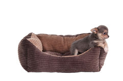Chihuahua puppy in a pet's cot. Chihuahua puppy playing in a brown cot isolated on white background Stock Photos
