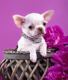 Chihuahua puppy. On a pink background Stock Photography