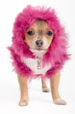 Chihuahua puppy with pink furry hood Stock Photos