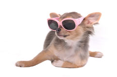 Chihuahua Puppy in Pink Glamorous Sunglasses Royalty Free Stock Images