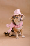 Chihuahua puppy with pink hat and scarf Stock Images