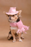Chihuahua puppy with pink hat and scarf Stock Photos