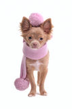Chihuahua puppy with pink scarf and beret Stock Images