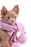 Chihuahua puppy with pink scarf portrait Stock Images