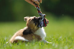 Chihuahua puppy play game with toy in woman hand Royalty Free Stock Image