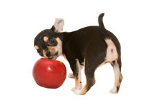 Chihuahua puppy playing with apple. Chihuahua puppy playing with red apple Stock Photos