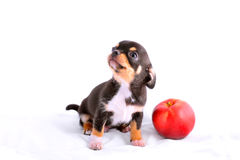 Chihuahua puppy playing with apple. On white Royalty Free Stock Image