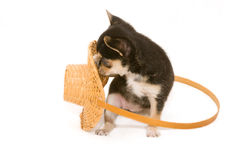 Chihuahua puppy playing with basket. On white Royalty Free Stock Images