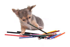 Chihuahua puppy playing with colorful pencils Royalty Free Stock Photos