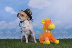 Chihuahua puppy playing in the grass Stock Image