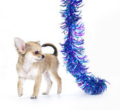 Chihuahua puppy playing with multicolored tinsel Royalty Free Stock Photo
