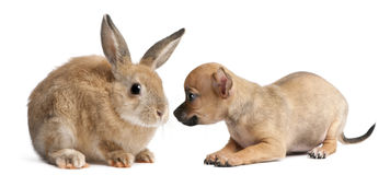 Chihuahua puppy playing with rabbit Royalty Free Stock Images