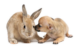 Chihuahua puppy playing with rabbit Stock Photography