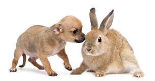 Chihuahua puppy playing with rabbit Stock Photo