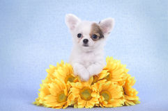 Chihuahua puppy portrait Stock Photo
