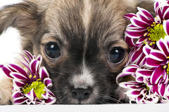 Chihuahua puppy portrait with pink flowers macro Royalty Free Stock Images