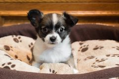 Chihuahua puppy portrait Stock Photo