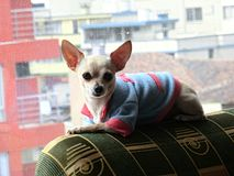 Chihuahua puppy posing between buildings stock image