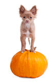 Chihuahua puppy on a pumpkin Stock Photos