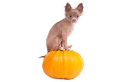 Chihuahua puppy on a pumpkin Royalty Free Stock Photos