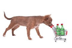 Chihuahua puppy pushing a shopping cart. With two bottles of alcohol, isolated on white background Royalty Free Stock Image