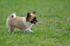 Chihuahua puppy put out one's tongue Royalty Free Stock Images