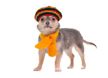 Chihuahua puppy with rastafarian hat and scarf Stock Photos