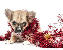 Chihuahua puppy  with red Christmas tinsel Royalty Free Stock Photos
