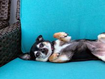 Dog relaxing in a chair. Chihuahua puppy relaxing in a chair in the afternoon after a long day royalty free stock photo