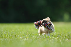 Chihuahua puppy with rope toy. On green grass royalty free stock image