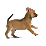 Chihuahua puppy running. On white background Stock Image