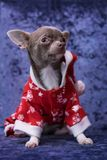 Chihuahua puppy in Santa Claus clothes. On blue background. In anticipation of the Christmas holidays royalty free stock photography