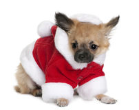Chihuahua puppy in Santa Claus suit, standing Royalty Free Stock Photo