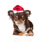 Chihuahua puppy in a santa hat Royalty Free Stock Photos