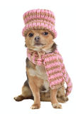 Chihuahua puppy with scarf and hat Royalty Free Stock Photo