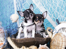 Chihuahua puppy and sea decorations Royalty Free Stock Images