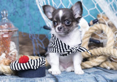 Chihuahua puppy and sea decorations Royalty Free Stock Photos