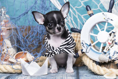 Chihuahua puppy and sea decorations Stock Photos