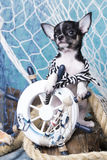 Chihuahua puppy and sea decorations Stock Photography