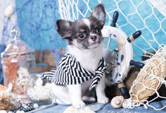 Chihuahua puppy and sea decorations Royalty Free Stock Image