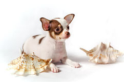 Chihuahua puppy with shells. Tiny Chihuahua puppy laying with shells isolated on white background Stock Image